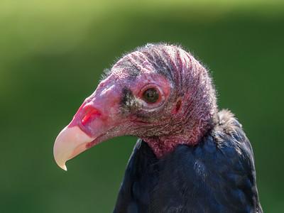Raptor release event at the Carpenter Nature Center; captive turkey vulture